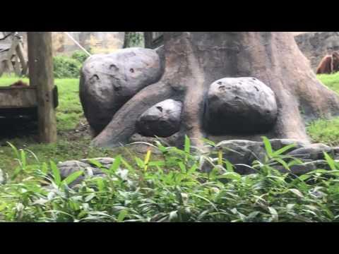 Zoo Atlanta Orangutan