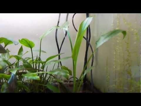 Cryptocoryne ciliata opens new leaf - лист Криптокорины реснитчатой