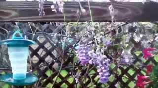 Watering Hanging Basket Flowers & Wisteria In Trellis / Arbor Outside Norma's Window