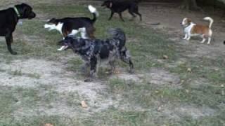 Bunch Of Dogs Running Around
