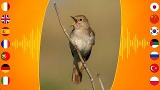 Gambar cover Bird Sounds: Thrush Nightingale