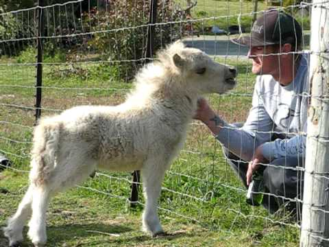 Greg and the baby mini horse- Miniature horses for sale ...