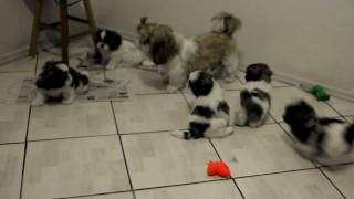 Filhotes brincando com a mamãe Shih Tzu