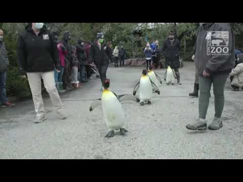 Penguins go on a walk in a U.S zoo