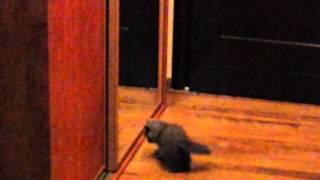 Kot brytyjski i odbicie w lustrze
