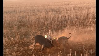 Pig hunting with dogs Australia 2016