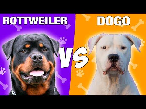 Rottweiler VS Dogo Argentino Quien Gana?