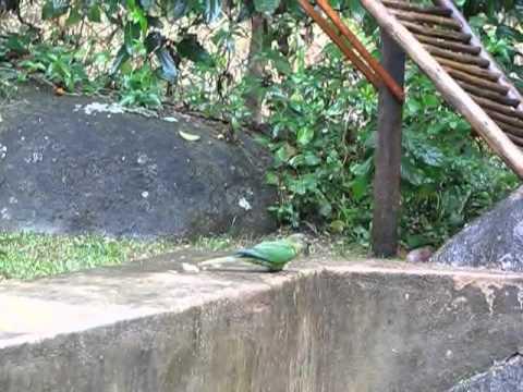 semi-trained wild parakeet, bird at feet, and huge pigeon.