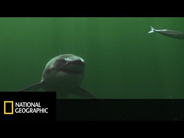 Naukowcy sprawdzali czy rekiny Białe są w stanie zaatakować w okolicach plaży! [Arcytrudna Misja]