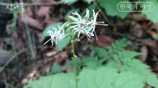 [한국의 야생] 단풍취(산나물) wild edible …