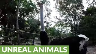 Huge, curious ostrich tries to eat GoPro