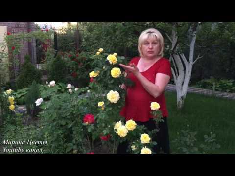 Розы - все секреты выращивания..