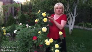 видео уход за розами