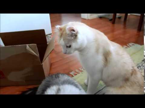 Cat trick: Bang (the cardboard box)
