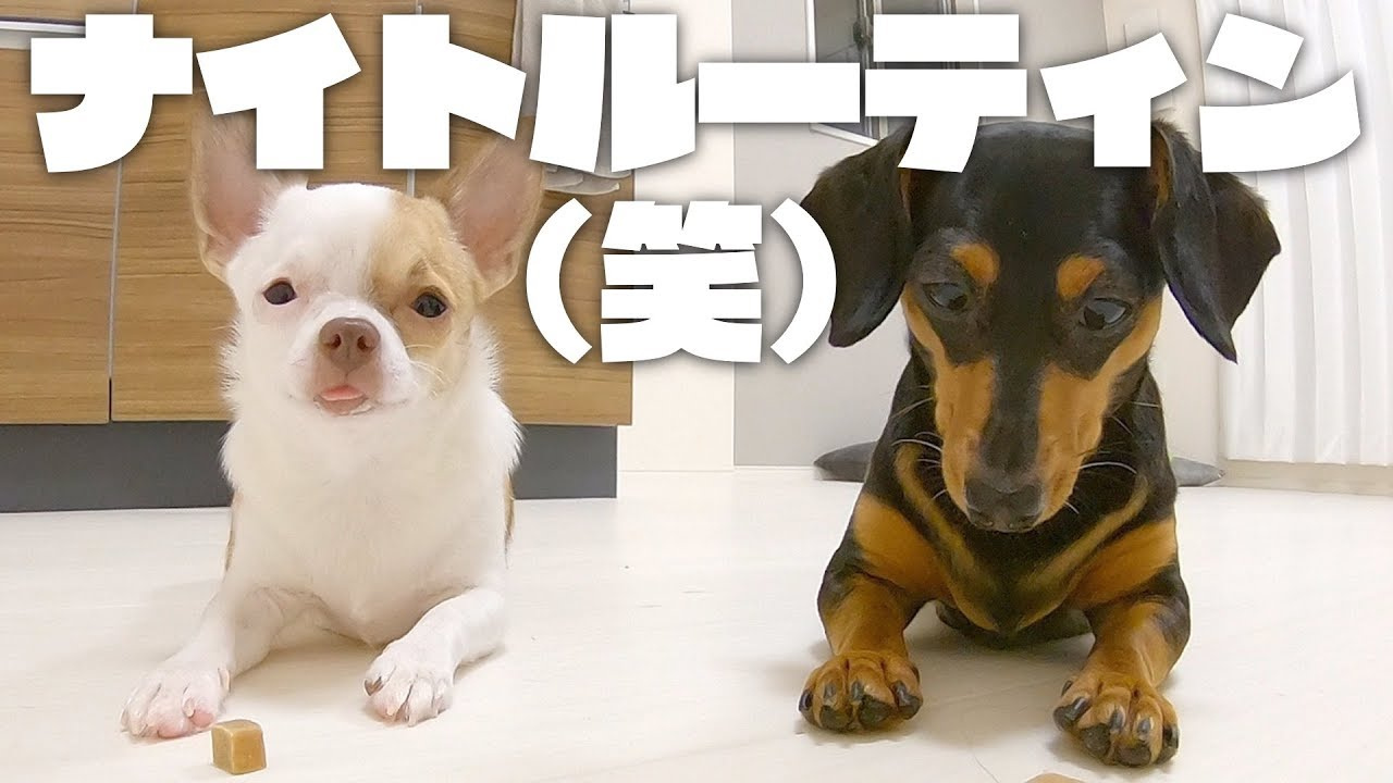 子犬チワワのナイトルーティンがほんわかふわふわ - YouTube