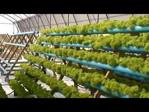 видео: Салат в теплице. Эффективный способ выращивания салата в теплице veiksmingas būdas salotos auga