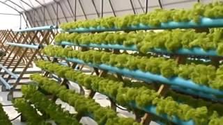Салат в теплице. Эффективный способ выращивания салата в теплице Veiksmingas būdas salotos auga