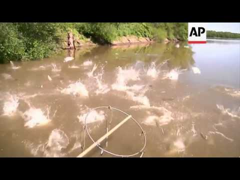 Scientists Measure Extent Of Asian Carp Invasion In US Rivers