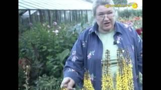 видео Цветок бузульник – посадка и уход, фото бузульника, выращивание бузульника в саду из семян; бузульник пржевальского и зубчатый