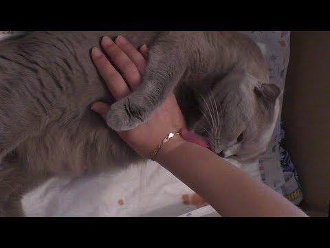 Вопрос: Почему породистые кошки тяжело рожают?