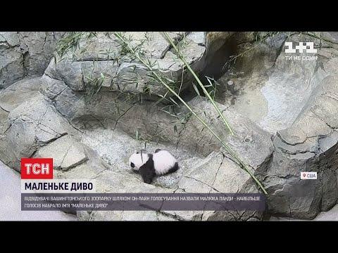 ТСН: Відвідувачі Вашингтонського зоопарку обрали ім'я для панди за допомогою онлайн-голосування