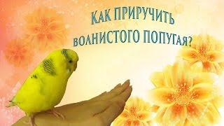 Как приручить волнистого попугая? Приручение попугая в 6 этапов