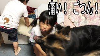 grandchild and #GermanShepherd #dog #大型犬#ジャーマンシェパード、...