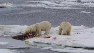 Белые медведи едят моржа на льдине в Чукотском море