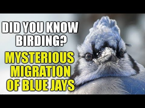 Blue Jay Migration - Did You Know Birding?(episode 19)