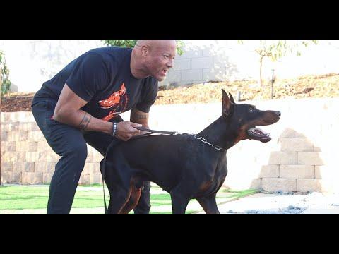 Rottweiler Vlogs Ep. 128 Mizzo & Mack (Gerald) Rottweilers and Dobermans
