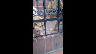 Rescue Puppy & Golden Retriever Puppy Compete To Be Petted (1:09 Min.)