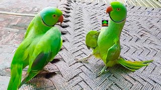 True Friendship Of Ringneck Talking And Dancing Parrots