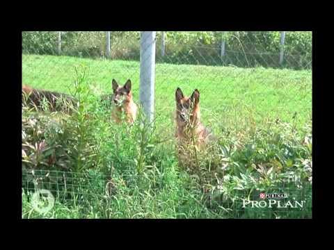 Немецкая овчарка – все о породе собаки – Purina Pro Plan Ukraine