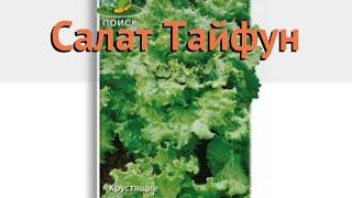 Салат обыкновенный Тайфун Листовой (tayfun) 🌿 обзор: как сажать, семена салата Тайфун Листовой