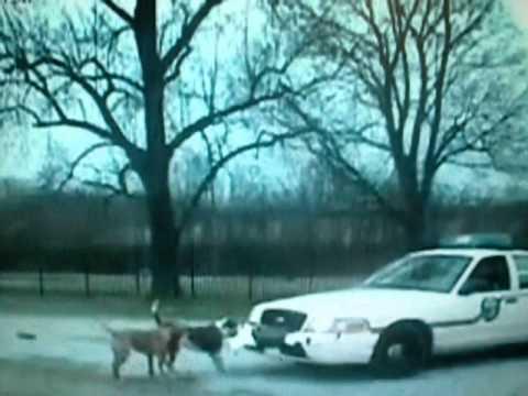 Dogs Attacks Police Car