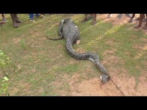 Python Swallows Goat Whole