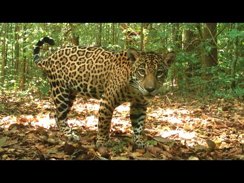 Hidden Cameras Show New Hope for Biodiversity in Tropical Forests