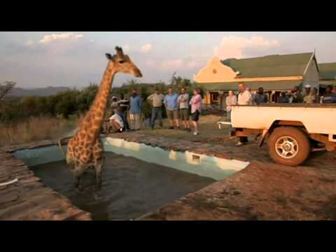 Wild at Heart giraffe gets stuck in a swimming pool