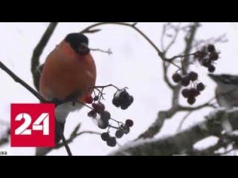 Московская погода наводит тоску на птиц - Россия 24