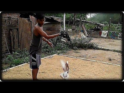 Merpati kolong, giring  sanggan keras terhadap ayam, dan setut kencang