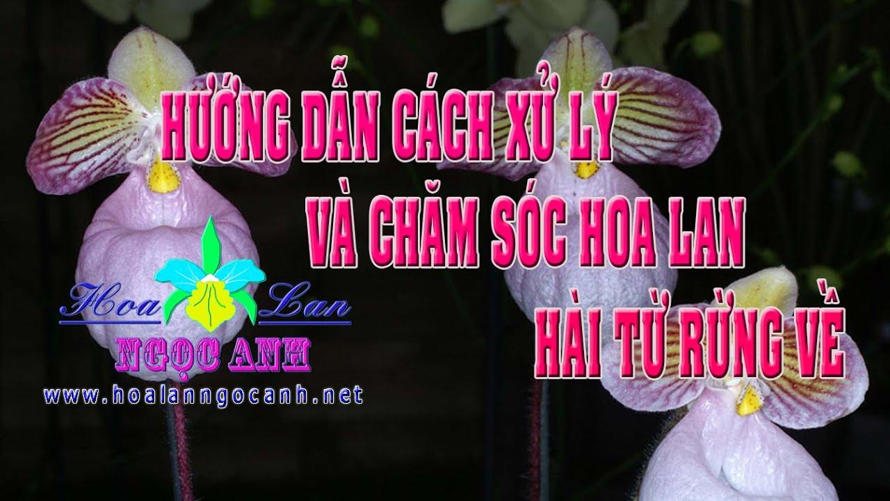 Hướng dẫn cách xử lý, trồng và chăm sóc hoa lan Hài từ rừng về [Hoa lan Ngọc Anh]
