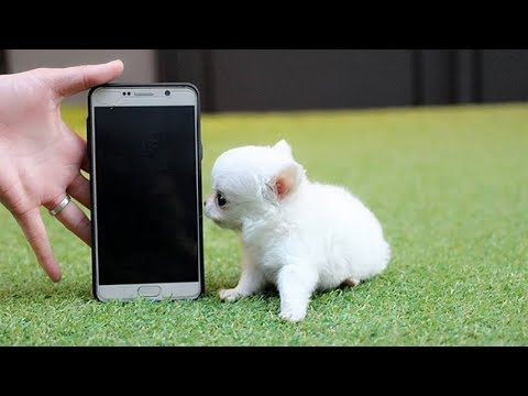 The Smallest Dogs in the world