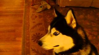 Siberian Husky Watching National Geographic Wolf Documentary
