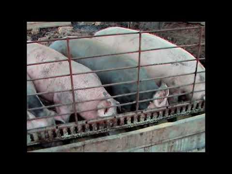 как легко и гуманно зарезать свинью