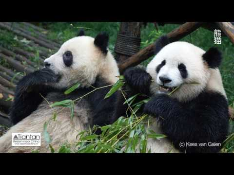 Xiongmao (Panda)