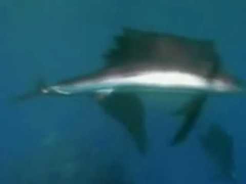 Парусник рыба
