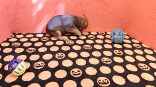 Smooth Coat Brussels Griffon X Yorkshire Terrier Desginer Puppy