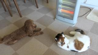 ストーブをこよなく愛する三毛猫。まだお行儀よくストーブに当たれない...