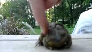 Лягушка прется