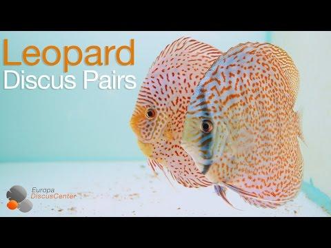 Leopard Diskusfische Zucht | Leopard Discus Breeding Pairs